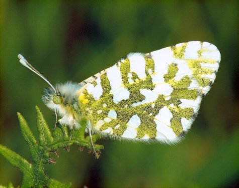 In The Know: Conservation of the Island Marble Butterfly